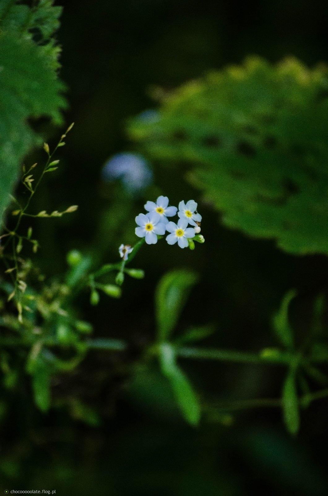 Niezapominajki to są kwiatki ....