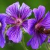 Zapracowana pszczółka  :: Miłego oraz pogodnego dni<br />a dla miłych gości
