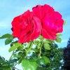 Róża z niemieckiego przyz<br />amkowego ogrodu.
