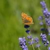 Motyle... i lawenda