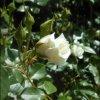 Biała róża cd